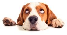 Keyword Canine